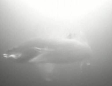 Underwater Walleye Video