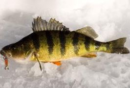 Serve Up Spoons for First-Ice Pan Fish
