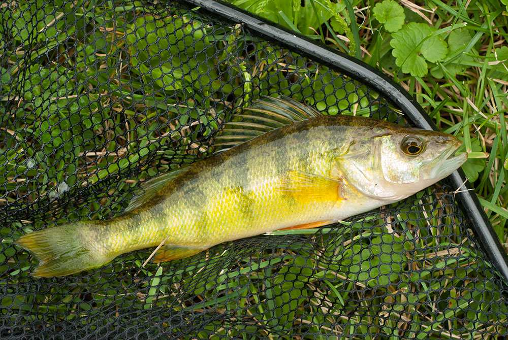 Lake erie fishing quotas down for yellow perch but up for for Lake erie perch fishing hot spots