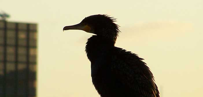 Local fish and game clubs support cormorant motion