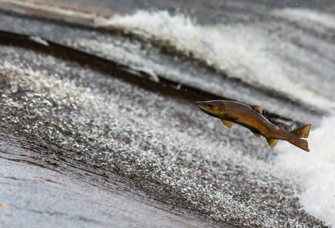 SCORES CHARGED BY MNR DURING FALL SALMON RUN